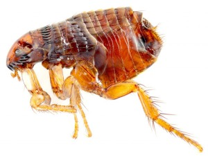 cat-flea