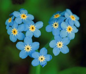 forget_me_not_lg_052811