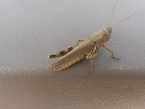 one_legged_grasshopper1