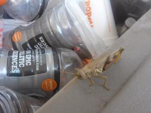 one_legged_grasshopper2