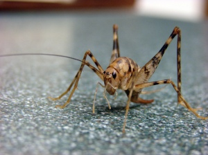 spider_cricket1