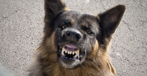 Close-Up Of Stray Dog Snarling