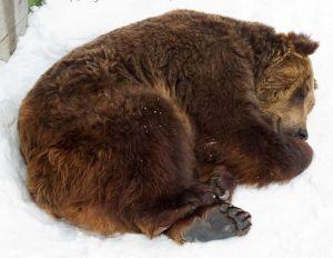 bear_sleeping