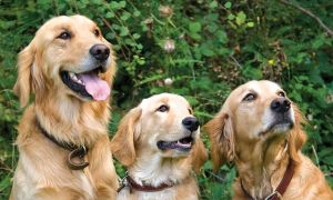 three-goldens