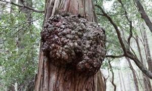 tree_tumor