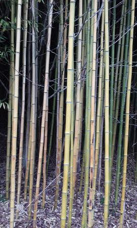 bamboo_grove1