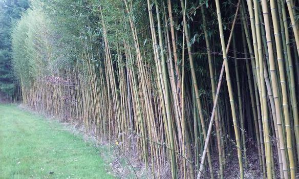 bamboo_grove2