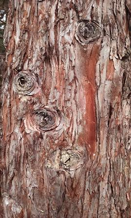 redwood_bark