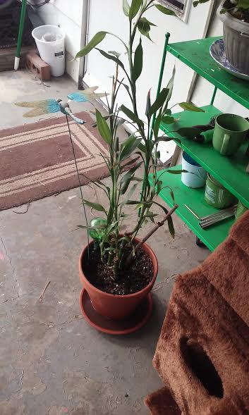 bamboo_large