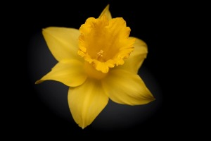 narcissusflower