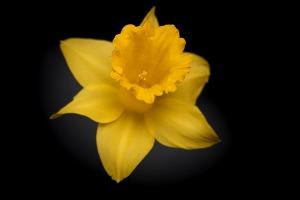 narcissusflower