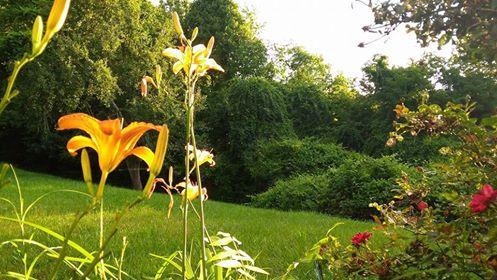 daylilies2