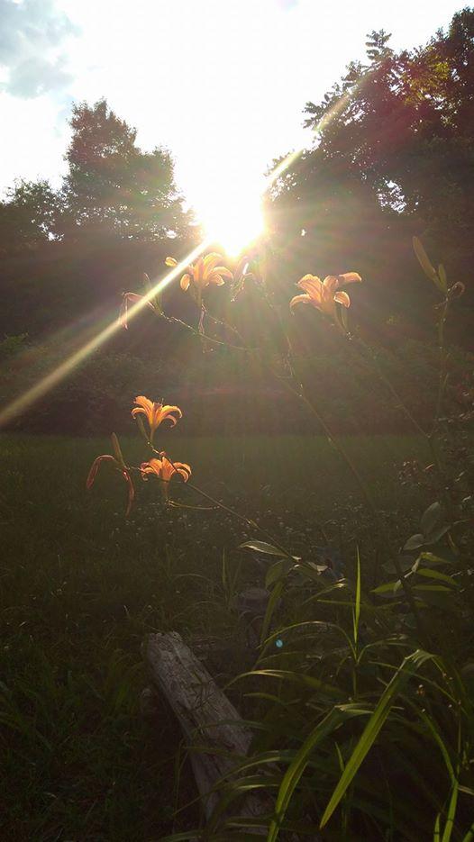 daylilies4