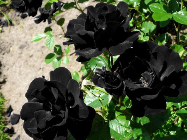 blackroses1