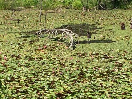 swannanoaswamp2